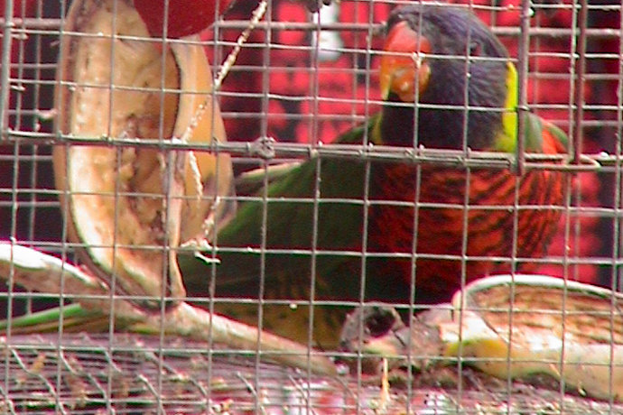 The Illegal Parrot Trade in Bali Increases