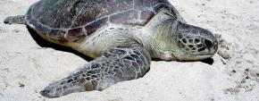 About Indonesian Sea Turtles