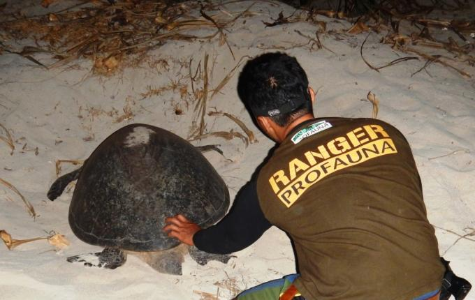 Ranger PROFAUNA rescue sea turtle