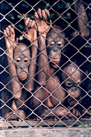 Babies of orangutan sold at bird markets freely