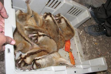 Dozens of Slow Loris confiscated in Ngawi market, East Java