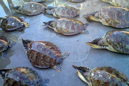 ProFauna Urges Full Law Enforcement on the Smuggling of 22 Sea Turtles Involving a Corrupt Police Officer in Bali
