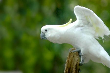 Sulphur-crested Cockatoo (Cacatua galerita)