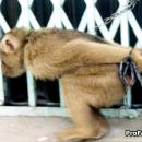 Monkey trade for meat