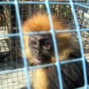 Javan langur trade in Java
