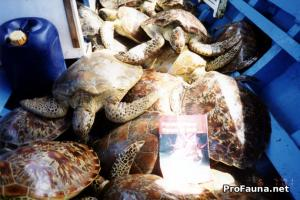 Sea turtle trade in Bali