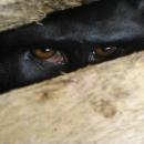 yaki Macaca nigra yang diperdagangkan